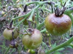 Домашние средства против лепестковой гнили томатов
