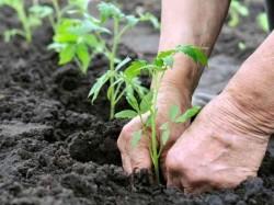 Подготовка почвы к посадке томатов