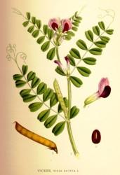 Послеуборочное дозревание семян вики мохнатой