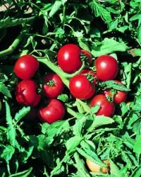 Скороспелые сорта томатов