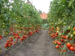 Уход за томатами в теплице