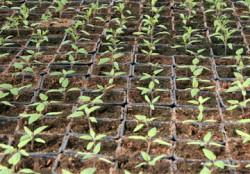 Выращивание огурца на подвое тыквы и кабачке