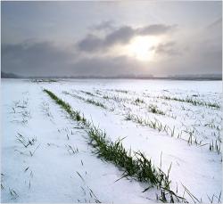 Заморозки и их последствия для посевов озимой пшеницы