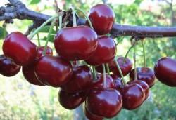 Характеристики различных сортов вишни