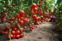 Как обрезать томаты и хранить