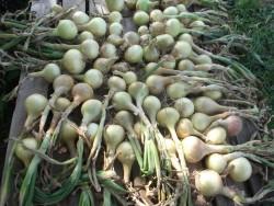 Как вырастить лук-репку из севка