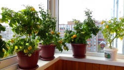Как вырастить помидоры на подоконнике