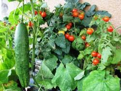 Какие овощи, посаженные в тени ,могут давать урожай