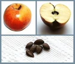 Можно ли вырастить яблоню из семени