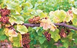 Об осенней посадке винограда