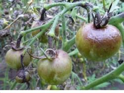 Поможем помидорам избежать фитофторы