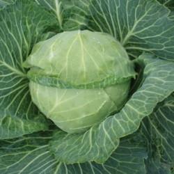 Ранние сорта белокочанной капусты