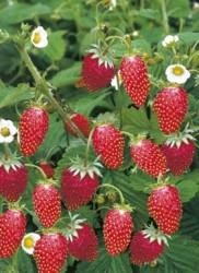 Уход за клубникой и ягодными кустарниками в июле