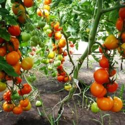 Выращиваем помидоры дома