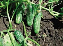 Выращивание огурцов с букетным расположением завязей