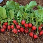 Выращивание раннего редиса