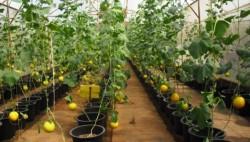 Выращивание рассады арбуза и дыни