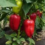 Выращивание сладкого перца