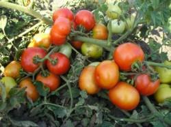 Выращивание томатов безрассадным способом
