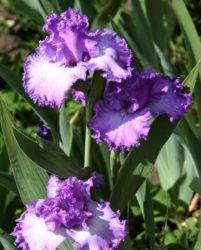 sredneroslyie-irisyi