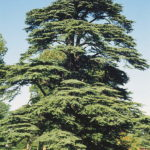 Как вырастить Ливанский кедр в домашних условиях?