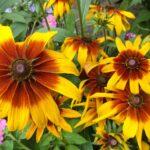 Самые неприхотливые садовые цветы