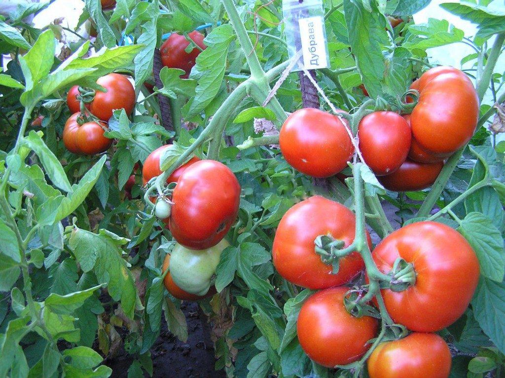 Выращивание помидоров Дубрава в теплице