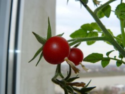 5 советов для тех, кто выращивает томаты в контейнерах