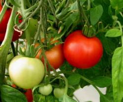7 удивительных фактов про помидоры