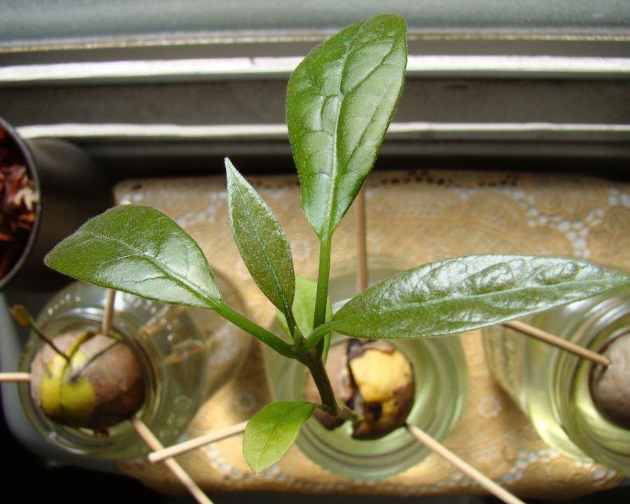авокадо из косточки как вырастить дома
