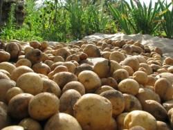Биологические особенности картофеля