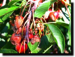 Болезни черешни и вишни
