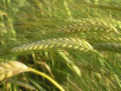 Болезни яровых зерновых культур