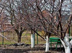 Чем опрыскивать абрикос, персик и сливу58528587578
