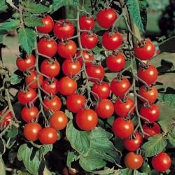 Черри – томаты и модно, и вкусно