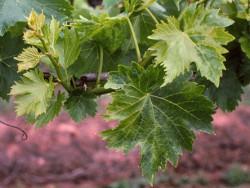 Если листья винограда по непонятной причине покрываются пятнами