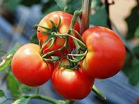 Факты о пищевой ценности помидоров