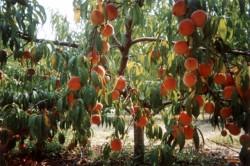 Формировка дерева персика