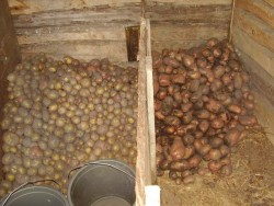 Хранение картофеля в буртах и траншее