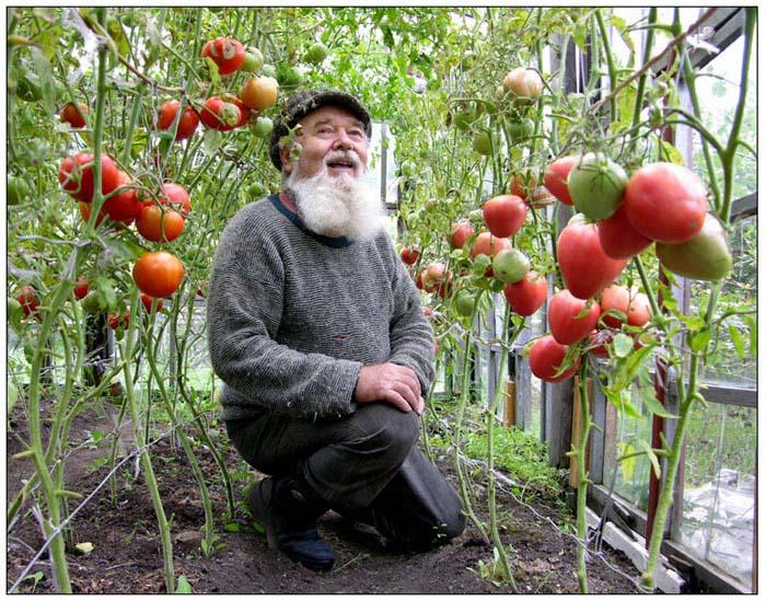 Собрала зеленые помидоры что делать