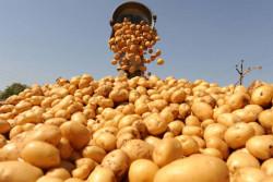 Как обеспечить высокое качество продовольственного картофеля