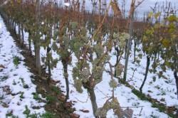 Как восстановить кусты винограда, поврежденные морозами