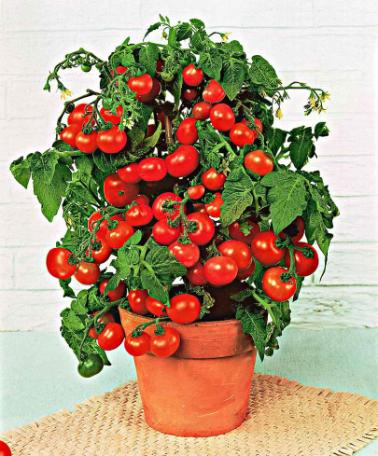 Сорта помидор в домашних условиях