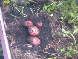 Когда подкапывать картофель