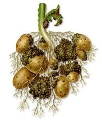 Многие огородники знают, что такое вырождение картофеля. С годами в семенном материале накапливается инфекция, снижается урожайность и качество клубней. Многие вирусы передаются вегетативно и через переносчиков.