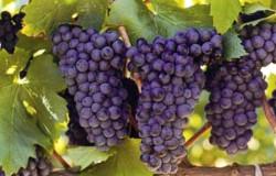 Можно ли бороться с растрескиванием ягод винограда