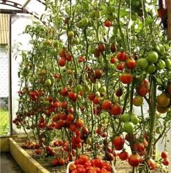 Можно ли зимой вырастить помидоры в помещении