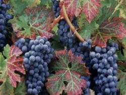 О происхождении винограда