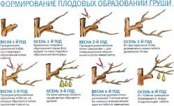 Обрезка и формирование груши