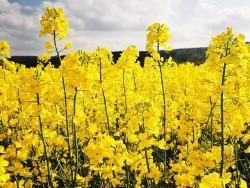 Особенности ухода за посевами ярового рапса
